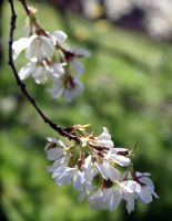 blossoming spring by karliosi