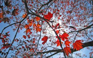 Maple Leaves in Spring by rrc589