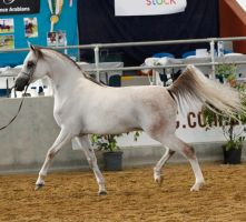 White arabian /red patches/10 by xxMysteryStockxx
