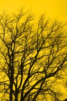 yellow-tree by AmeenS