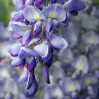 wisteria by photofairy
