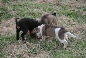 3 pups by black-cat16-stock