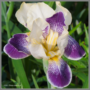Iris in the Afternoon by Mogrianne