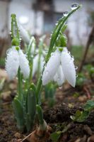 snowdrop by Furious--Angel
