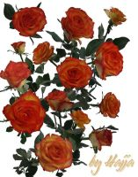 14 Roses Stock by aswad-hajja