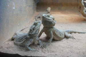 Lizard Couple Stock by SusanaDS-Stocks