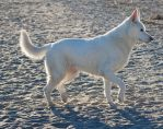 White German Shepherd by CompassLogicStock