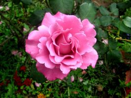 pink rose by ness5378