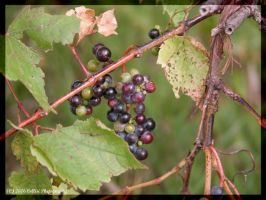 Wild Grapes by Timm45