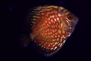 Red turquoise discus by Roby17