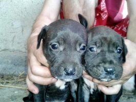 APBT pups by natiawarner