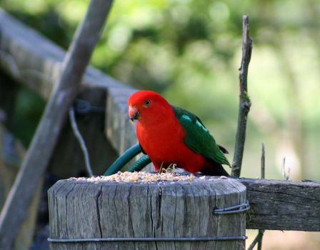 King Parrot by SpamDragon