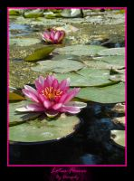 Lotus Flower by Dinogaby