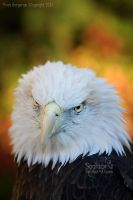 Color Eagle by Sagittor
