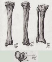 Bone Studies 03 - Tibia-Fibula by BlackDelphin