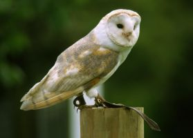 Barn Owl by LughoftheLongArm