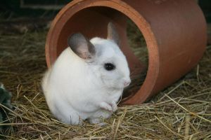 White Chinchilla by fruitnfibrestock