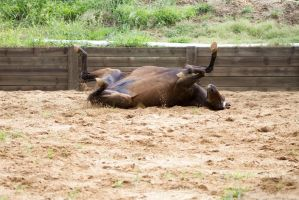KM Old TB laying rolling legs up by Chunga-Stock