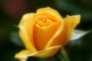 Dream Yellow rose by a6-k