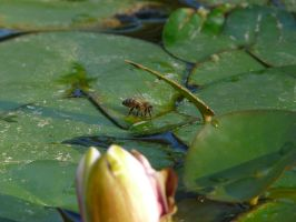 The lily pad bee by Priestesspunx