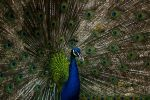 Pwetty Peacock - II by InayatShah