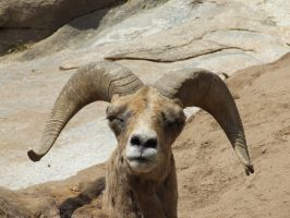 Mountain Goat 1 by dtf-stock