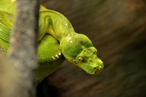 Green Snake by esee