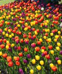 Tulip Carpet by YunaHeileen