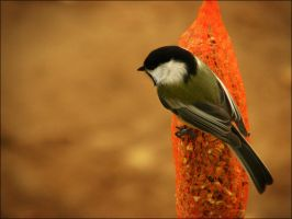 Chickadee by FK-Photography
