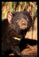 Tasmanian Devil by TVD-Photography