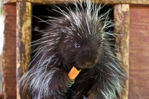 I'm A Porcupine! by xraystyle