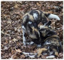 African Wild Dog - Pups 011 by ShineOverShadow