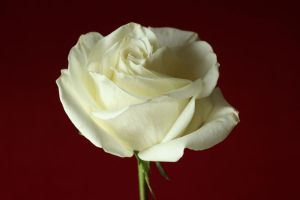 Rosey White by digitalpix4all