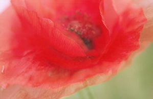 Papaver flamenco by MissUmlaut