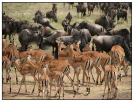 Impalas and wildebeest by tchaika