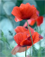 bokeh and poppy by SvitakovaEva
