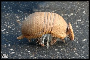 Tiny little Armadillo 2 by LarryDNJR
