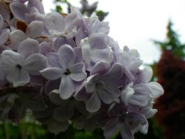 Lilac Blossoms I by Bwabbit