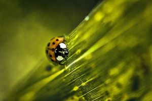 Coccinelle by hubert61