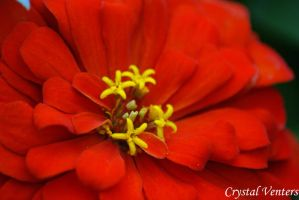 Red Zinnia 3 by poetcrystaldawn