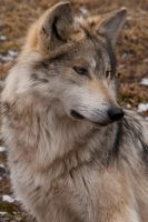 Portrait of a Wolf by aaubin