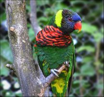 Swainson's Lorikeet 2 Stock by TalkStock