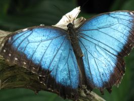 Blue Butterfly by Fring