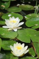 Water lily Stock 07 by Malleni-Stock