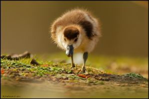 March Of The Gosling. by andy-j-s