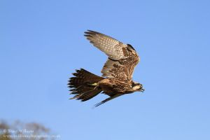 Saker Falcon by twilliamsphotography