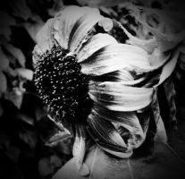 Dark Sunflower... by billndrsn