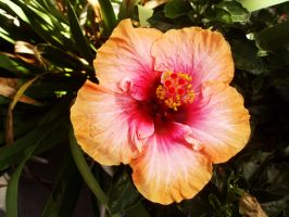 Hibiscus One by ElectraSinclair