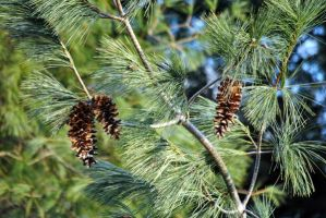 Pine Cones and Branches by KEArnold