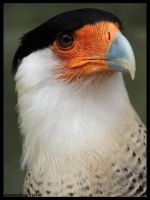 Southern crested caracara by AzureHowlShilach